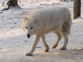 North American Arctic Wolf 108 by animalphotos
