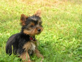 Tao the Yorkie by crizco