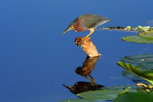 Green Heron by Hobgoblin666