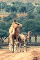 camels by Emiraty
