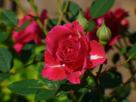 Rose II by Grevian