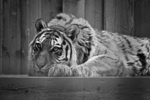 Tiger from zoo by Winstein
