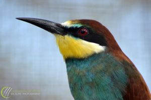 Bee-eater by cassandra-heatley