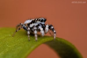 116.Jumping spider by Bullter