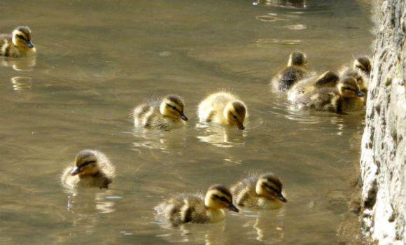 Ducklings2 by chaosia-photos