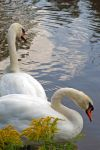 Swans by LucieG-Stock