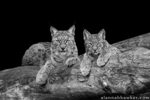 Lynx Cub and Mum by Alannah-Hawker