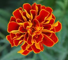 Red and Yellow Flower by LauraRamirez