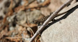 Lizard on the Lookout 1 by IlluminatedNewt