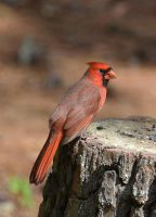 Male Cardinal 10-9-14 by Tailgun2009