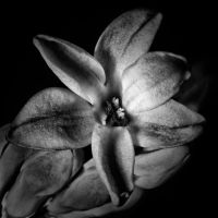 Hyacinth monochrome by CharmingPhotography