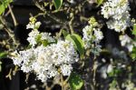 White lilacs by snoogaloo