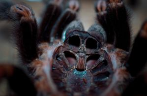 Orange Kneed Tarantula Skin by TheIronyOfItAll