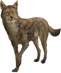 Caraclie Coyote by Ciameth