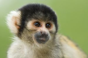 Squirrel Monkey by neonstz