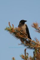 And again a hooded crow by Acc3a