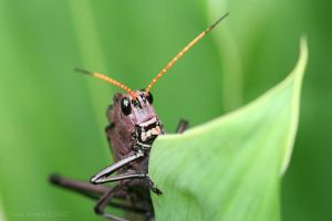 Red-winged Grasshopper II by Daan-NL