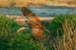 Flight of the Limpkin 2 by Kippenwolf