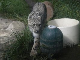 Tai Lung the Snow Leopard by koopakid30