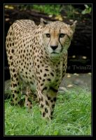 gepard by Twins72