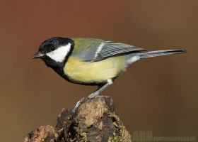 Great Tit by Albi748