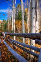 Autumn Aspens by cinquain