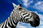 Sky Isolated Zebra II - Exclusive Stock by somadjinn