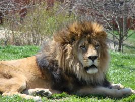 King of the Zoo by asaph70