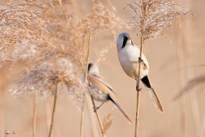 Bearded Reedling by SzymonMic