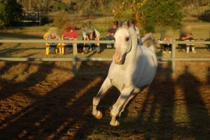 JA Arab Grey canter/gallop toward legs off ground by Chunga-Stock