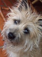 Lexi the Cairn Terrier by Era-Wolf
