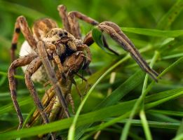 Grass hopper a la carte by geckogr