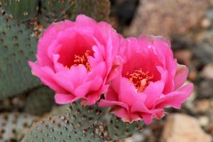 Pink Cactus Flower by I-Heart-Photos