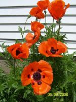 Grand Poppies by rubies52