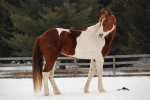 Pinto Horse 30 by ErikaChristine