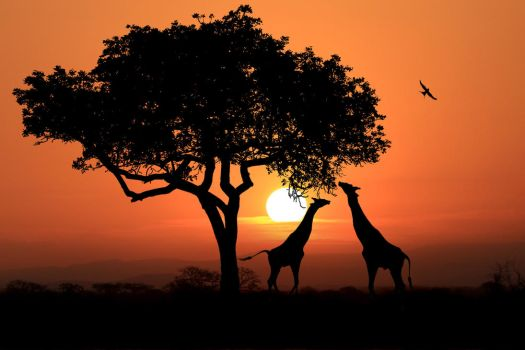 Giraffes at sunset in africa 3 by bouzid27