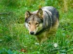 Timber Wolf - Canis lupus lycaon by TheFunnySpider