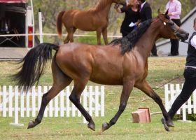 STOCK - TotR Arabians 2013-531 by fillyrox