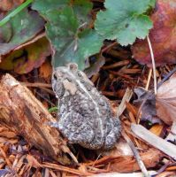 Garden Toad by MadGardens