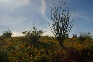 San Carlos Poppies by PatGoltz