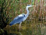 Grey Heron by Lupsiberg