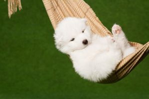 Samoyed puppy by Wordup