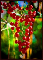 Bird Food Berries by Tailgun2009