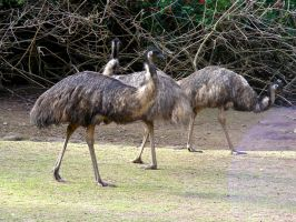 Three Emus by AtomicBrownie
