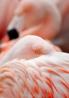 The Flamingos by DeniseSoden