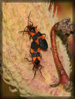 Large Milkweed Bugs 20D0036509 by Cristian-M