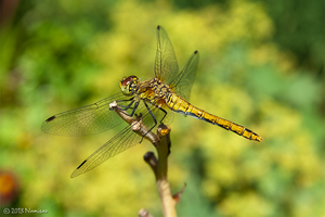 Ruddy Darter by Namisao