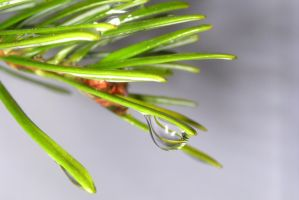 Water on a Fir Tree by Hauns