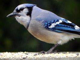 bluejay in the morning by Lou-in-Canada
