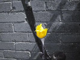 Yellow rose by orbthesela